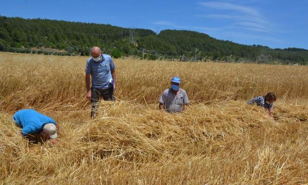 Serik'te buğday hasadı başladı