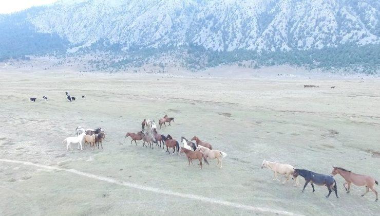 Antalya'da özgürlüğün sembolü Yılkı atları