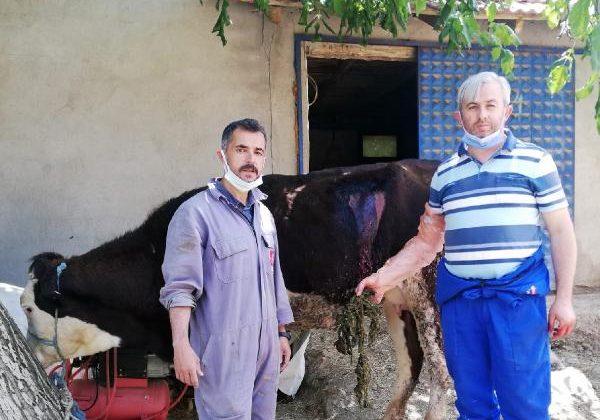 Beslenme güçlüğü çeken ineğin karnından 2 kilo urgan çıktı