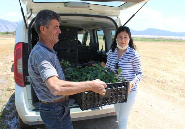 Büyükşehir'den Korkutelili çiftçilere çilek fidesi desteği