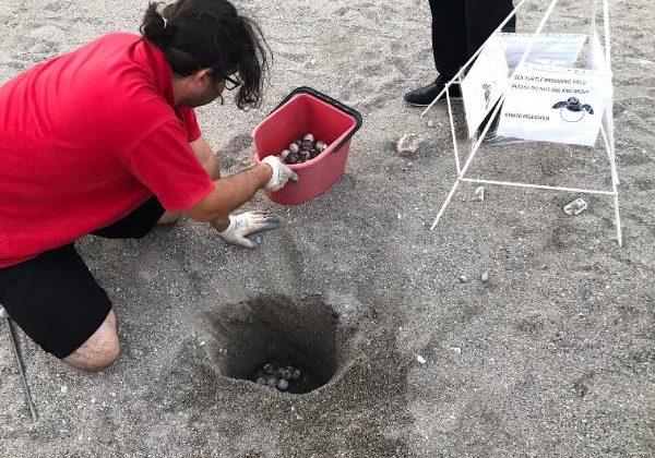 Caretta caretta yuvası sahilden uzağa taşındı