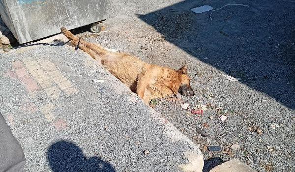 Köpeği öldürüp arka ayakları bağlı halde çöp konteynerinin yanına attılar (2)- Yeniden