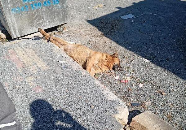 Köpeği öldürüp arka ayakları bağlı halde çöp konteynerinin yanına yattılar