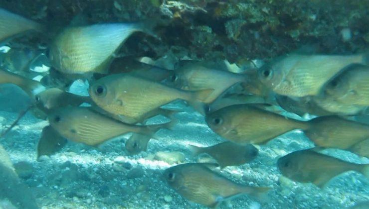(ÖZEL) Dünyaca ünlü sahilde Kızıldeniz'den gelen üçgen balıklarının görsel şöleni