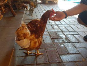 (Özel) Esnafın maskotu 'tavuk' sokağa pislemesin diye maskeyle bezleniyor
