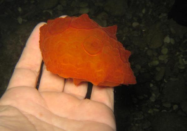 Poşet sanılan deniz canlısı, nadir görülen kaplumbağa salyangozuymuş