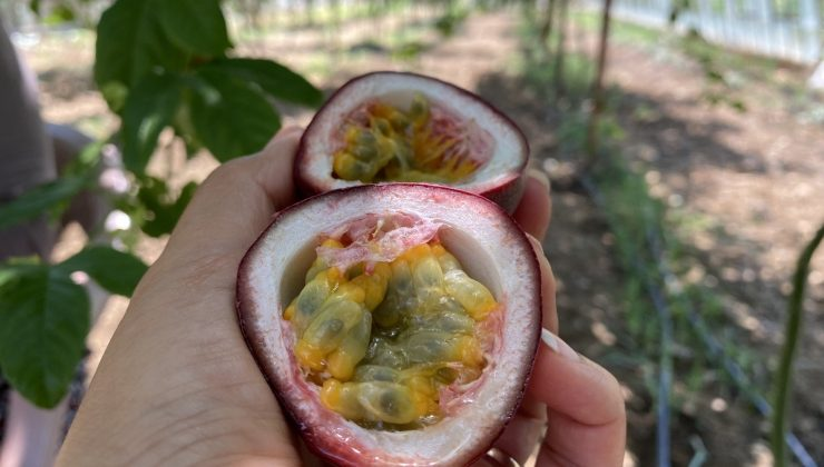 Şifa niyetine ektiği passiflora meyvesinin ticaretini yapıyor