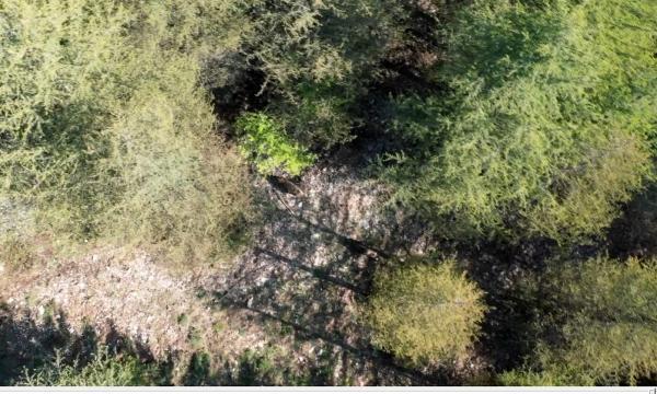 Yaban domuzu sürüsü dron ile görüntülendi
