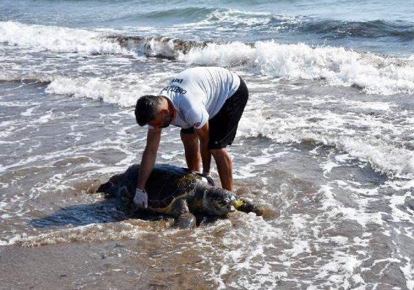 Demre'de, neslinin tükenme tehlikesi olan yeşil deniz kaplumbağası ölü bulundu