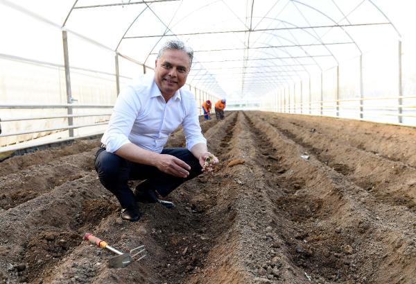 Muratpaşa'nın deneme üretimi zencefilleri filizlendi