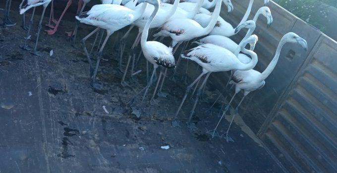 Yasadışı yollardan ele geçirdikleri flamingoların kanatlarını kesmişler