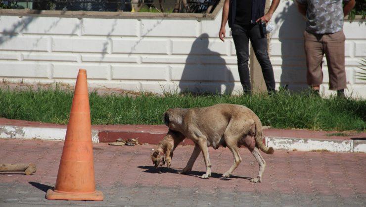 Anne köpeğin ölü yavrusunu taşıması duygulandırdı