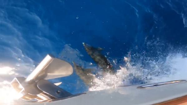 Balıkçılar teknenin yanında yüzen yunusları görüntüledi (2)