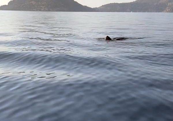 Deri sırtlı deniz kaplumbağası canlı görüntülendi
