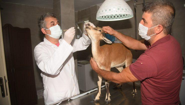 Hasta halde bulunan yavru ceylan tedavi altında alındı