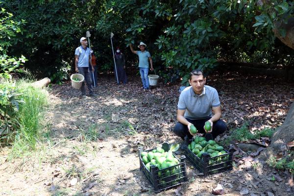 Hırsızlar, Alanya'da avokado üreticilerini bezdirdi