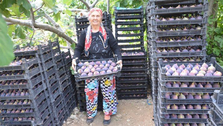 (ÖZEL) Antalya'da 800 rakımlı köyde taze incir hasadı başladı