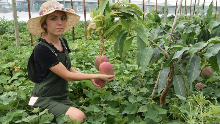 Üniversiteli Burçin mezun olup çiftçiliğe başladı, ilçedeki ilk mango hasadını yaptı