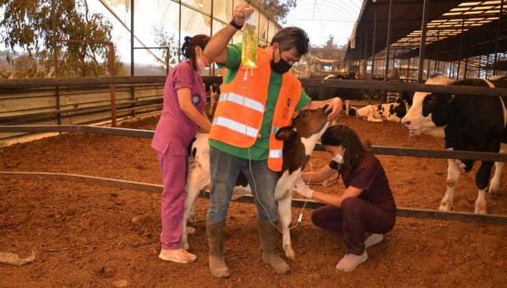 Yangın bölgesinde yaralı hayvanlar tedavi ediliyor