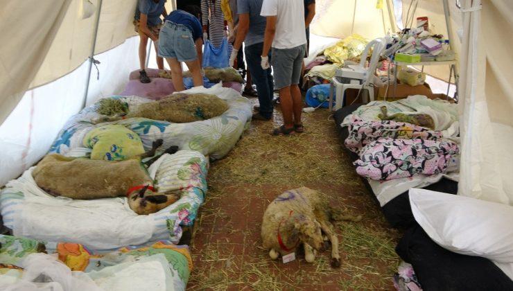 Yangından zarar gören 350 hayvan sahra hastanesinde tedavi edildi