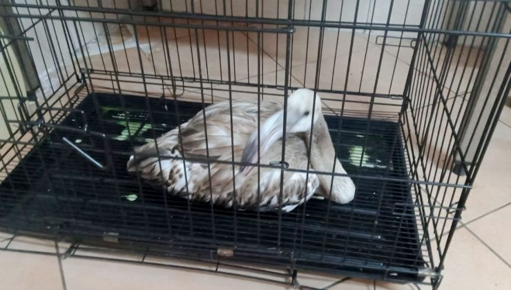 Yaralı flamingo, tedavisinin ardından hayvanat bahçesine gönderilecek
