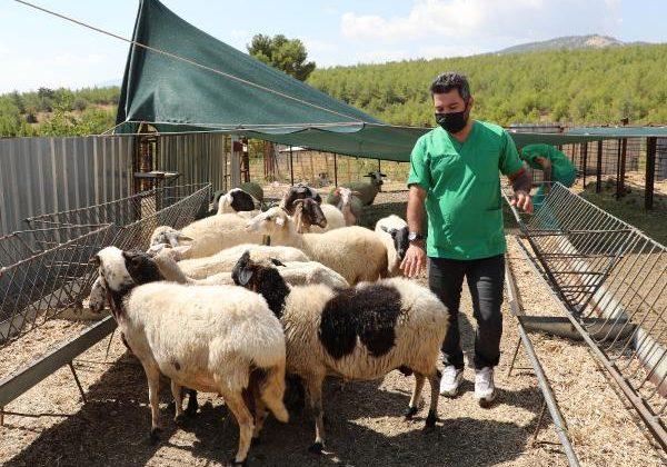 Başkan Böcek, mağdur aileye 15 koyun hediye etti
