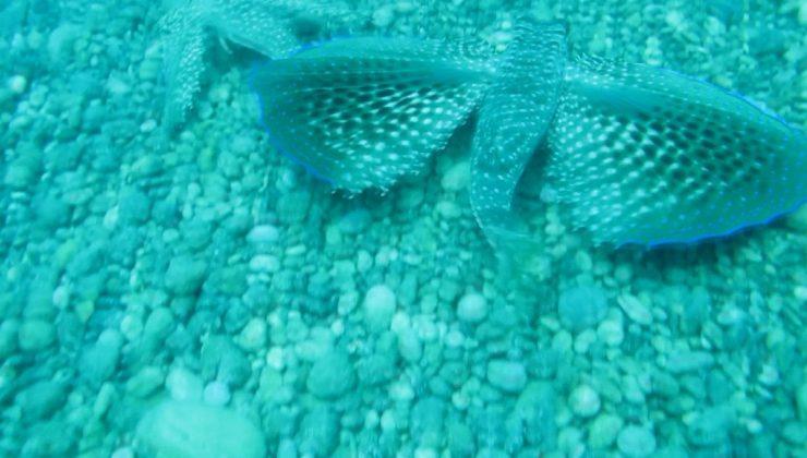 Kırlangıç balığı, dişisini çekim yapan profesörden böyle korudu