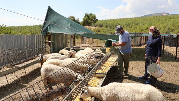 Koyunları telef olan aileye 15 koyun hediye edildi