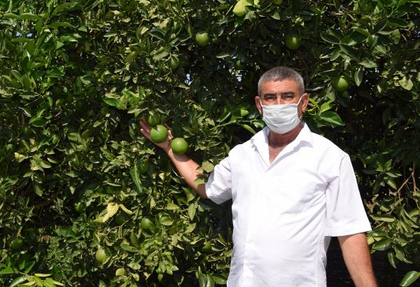 Kumluca'da Akdeniz meyve sineğiyle mücadele