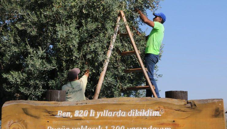 (Özel) Bin 200 yaşındaki zeytin ağacından kasa kasa zeytin hasatı