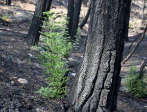 Türkiye'nin en büyük yangını sonrası doğa yeniden canlanıyor