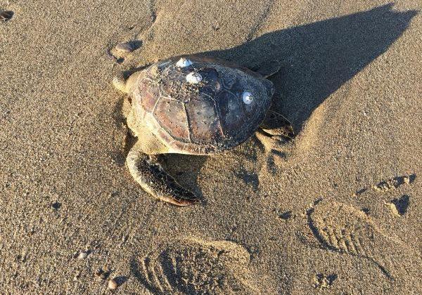 Alanya'da 4 caretta caretta ölüsü sahile vurdu