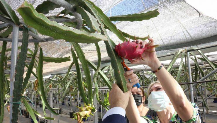 Rektör Özkan tropikal meyve hasatına katıldı