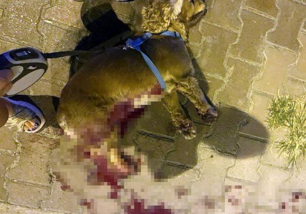 Tasmasız dolaştırılan pitbull, saldırdığı köpeği öldürdü